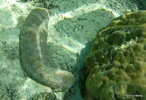 sea cucumber ~ photo for my friend, Amy, who loves invertebrates